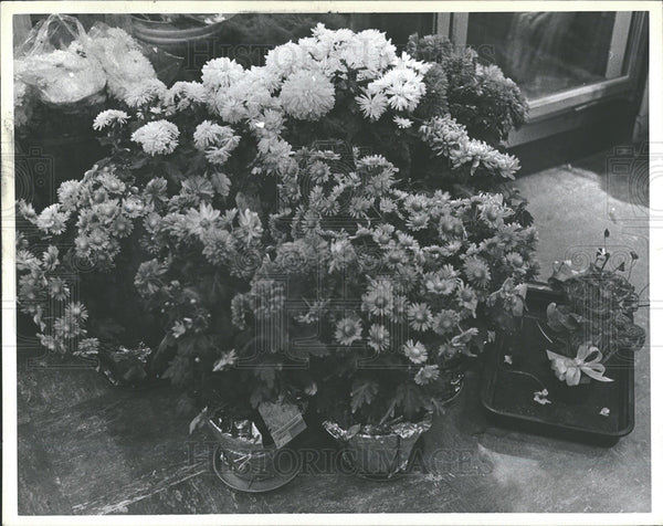 1980 Press Photo Chrysanthemums Hudson Flowers - Historic Images
