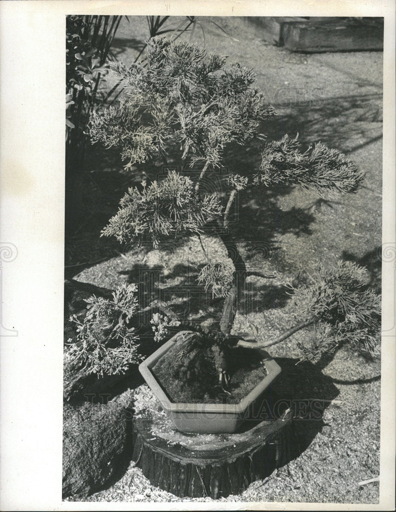1974 Press Photo Blue Vase Juniper plant Garden Mud - Historic Images
