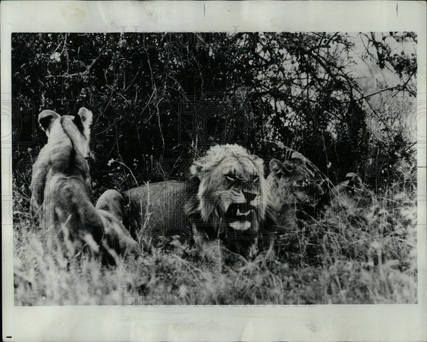 1968 Press Photo Lions Nairobi National Park Kenya  - Historic Images