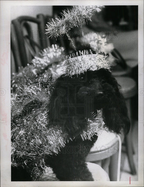 1967 Press Photo Poodle Parade - Historic Images