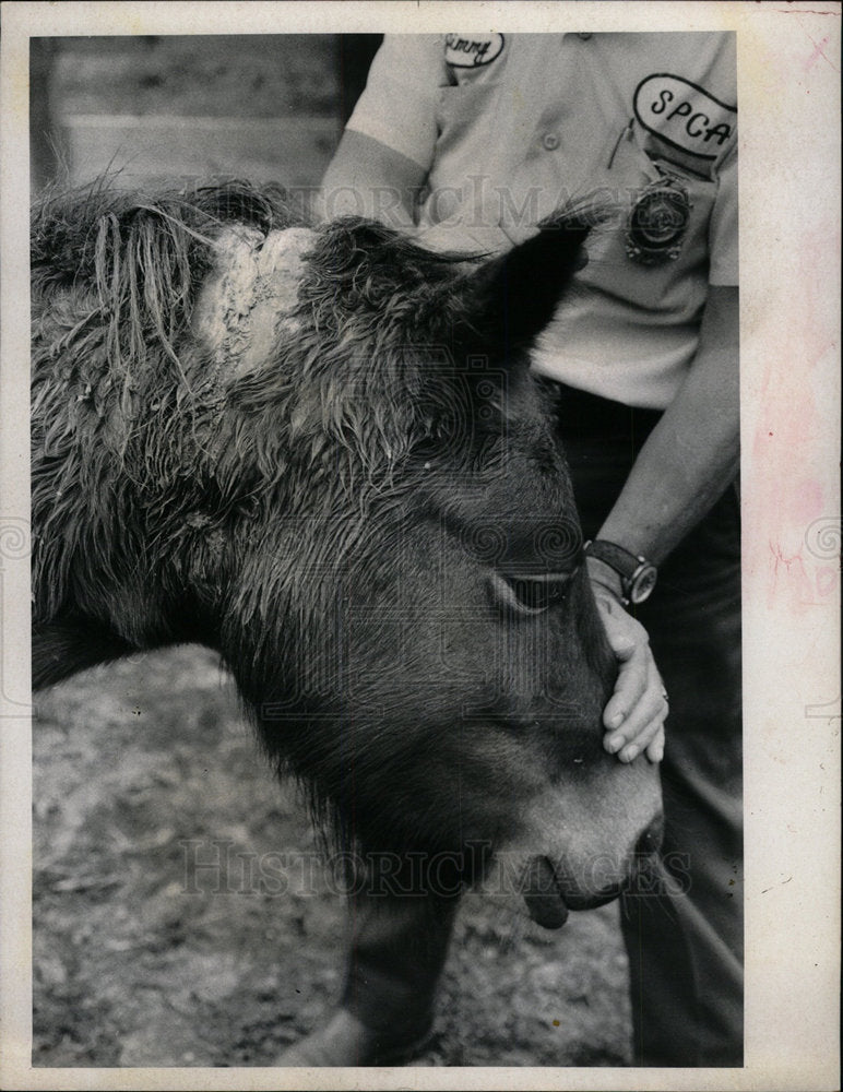 1971 Press Photo Welsh Pony Found - Historic Images