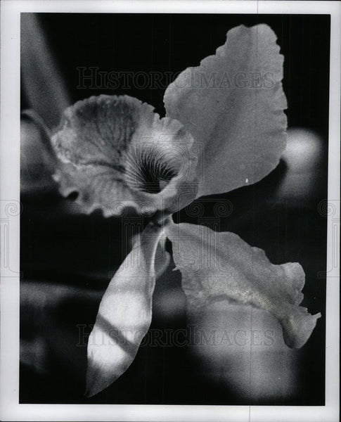 1978 Press Photo Orchid Flowers Belle Isle Michigan - Historic Images
