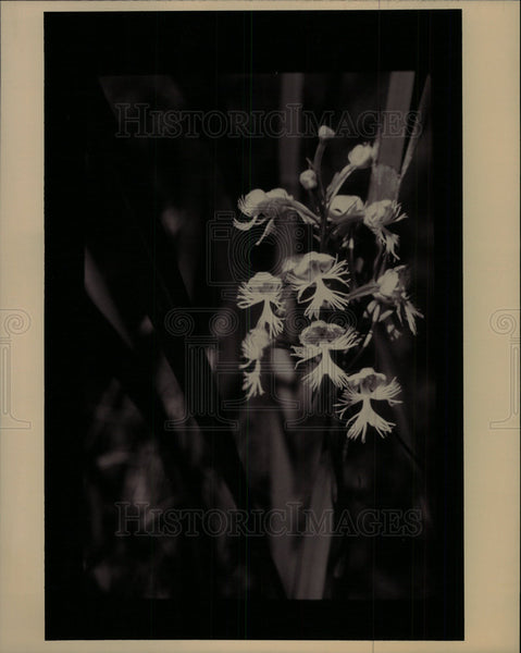 1994 Press Photo Eastern Prairie Fringed Orchids - Historic Images