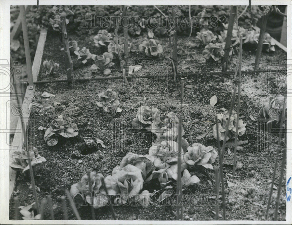 Press Photo Bid lettuce vegetables grow onions parsley agriculture farming - Historic Images