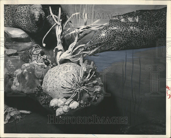 1910 Press Photo Savage Moray Specimen Seaorama Clearwater Marine Museum - Historic Images