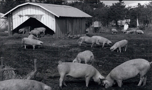 Press Photo raising hogs agriculture Japan - Historic Images