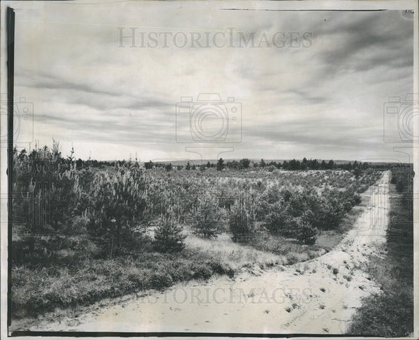 1929 Press Photo Pines Reforestation In Michigan - Historic Images