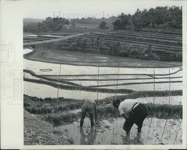 1962 Press Photo of father and son working in rice paddies in Java - Historic Images