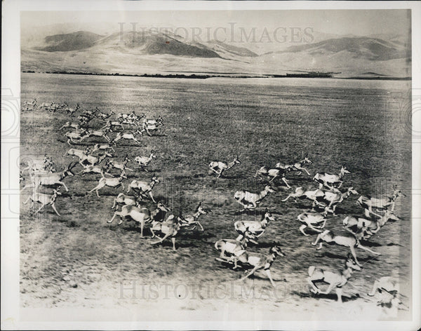 1953 Press Photo Largest Pronghirn Antelope Roaming the Plains of Wyoming - Historic Images