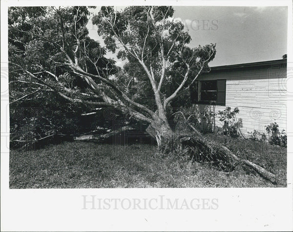 1980 Press Photo Chinaberry Tree Damage, Wilkersons' House - Historic Images