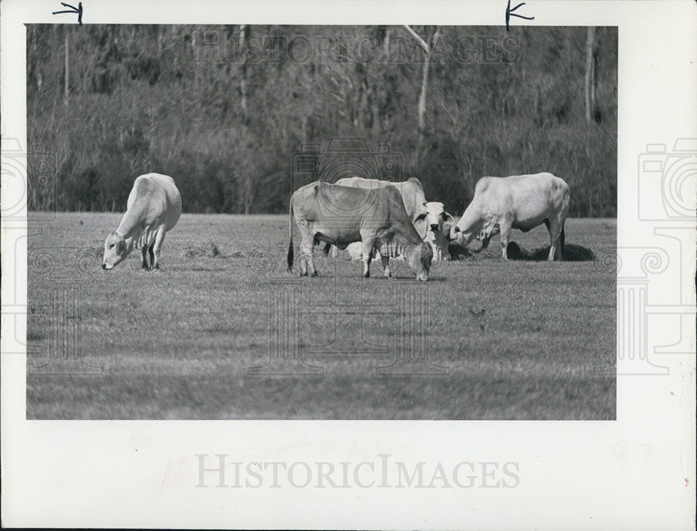 Press Photo of cattle grazing in a field - Historic Images