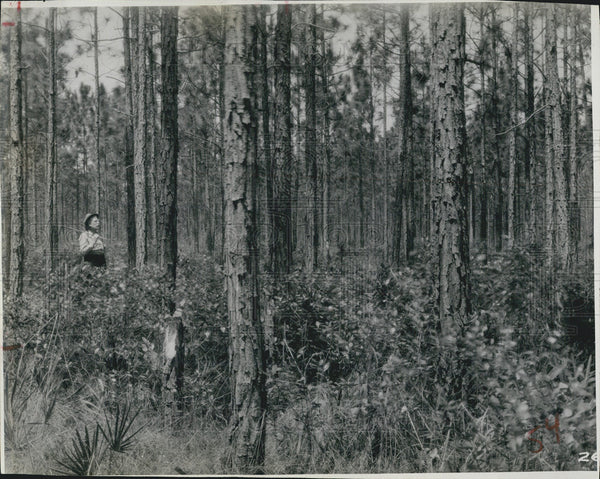 1932 Press Photo 28 year old long leaf poles, Camera station # 23, Forest - Historic Images