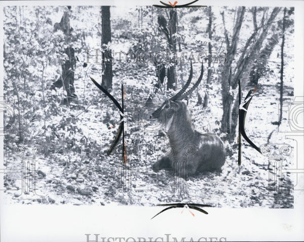 1965 Press Photo Waterbuck - Historic Images
