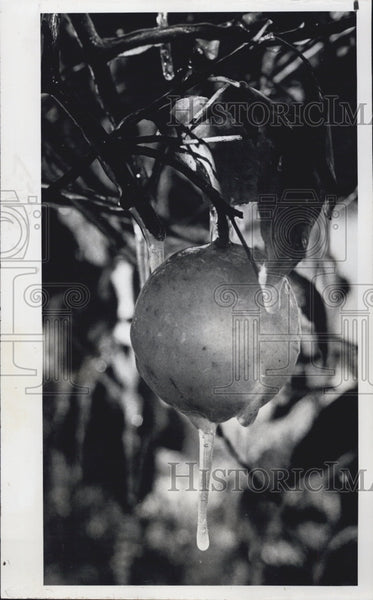 1979 Press Photo A fruit turned to ice. - Historic Images