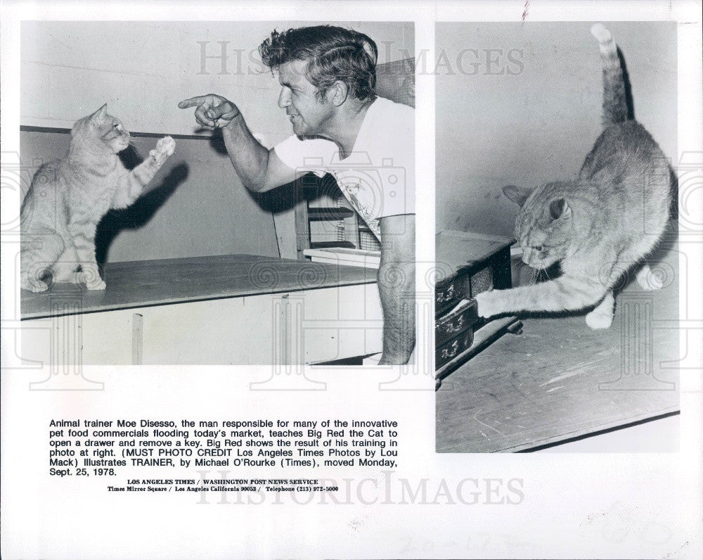 1978 Animal Trainer Moe Disesso Teaching Big Red the Cat Press Photo - Historic Images