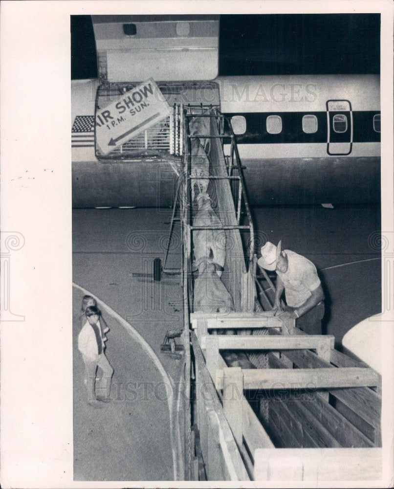 1971 St. Petersburg FL Cattle Shipped to South Africa Via Plane Press Photo - Historic Images