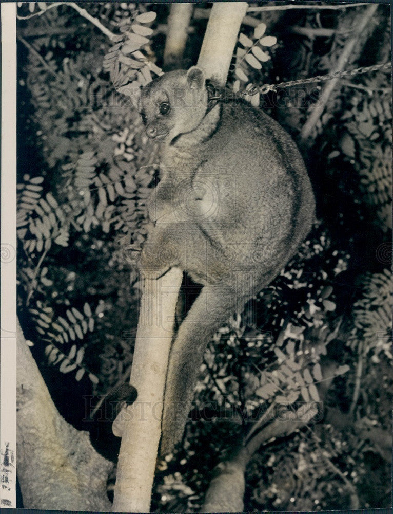 1946 A Kinkajou, Rainforest Mammal Press Photo - Historic Images