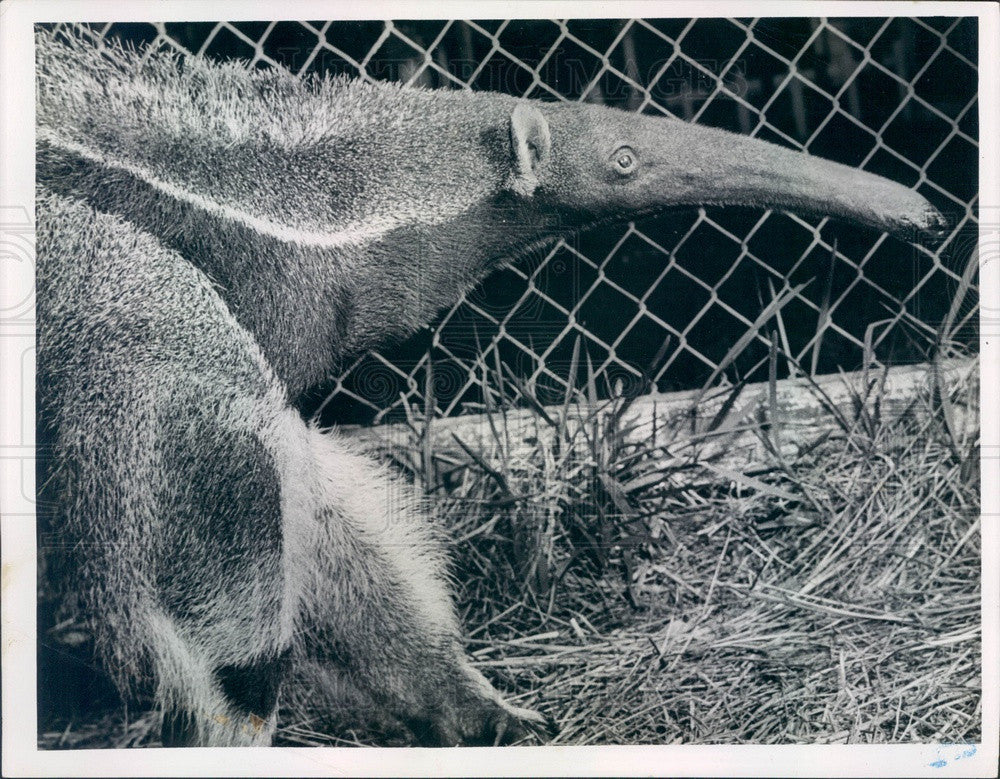 1954 Anteater Press Photo - Historic Images