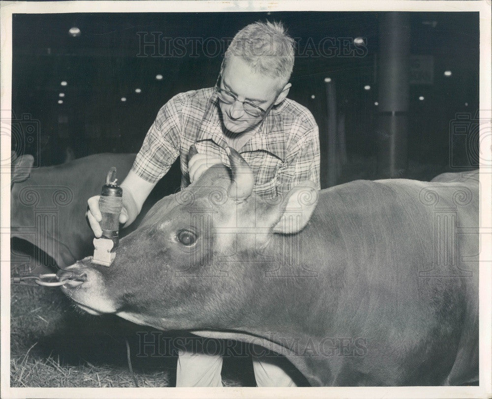 1955 Chicago IL Intl Dairy Show Champ Jersey Bull & Fayetteville, TN Press Photo - Historic Images
