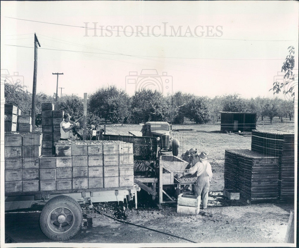 1948 Caterpillar Diesel D4 Tractor With Walnut-Harvesting Rig Press Photo - Historic Images