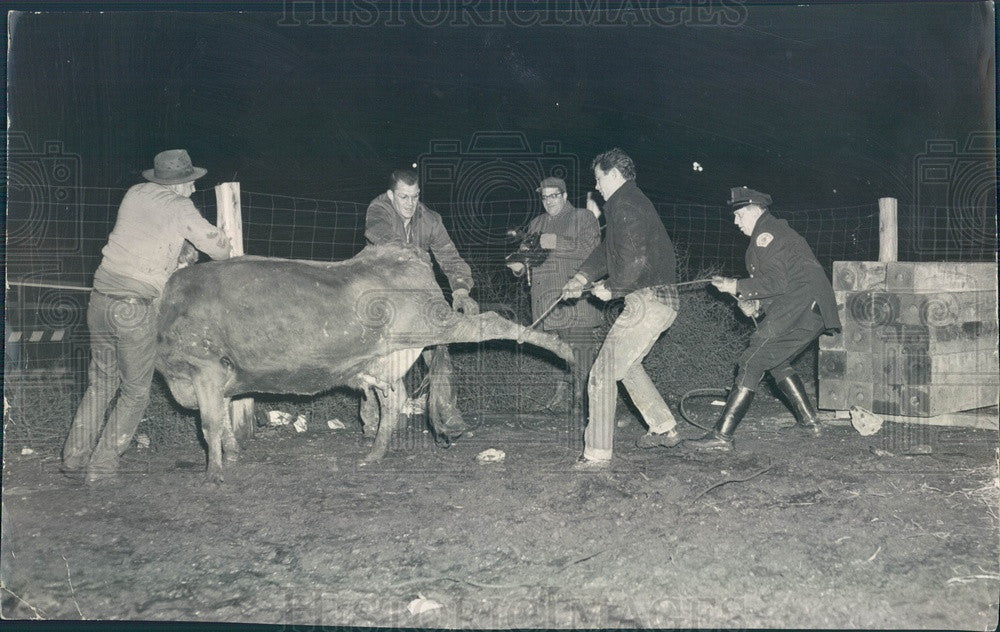 1958 Chicago, Illinois Escaped Cattle Roped at Congress Expressway Press Photo - Historic Images
