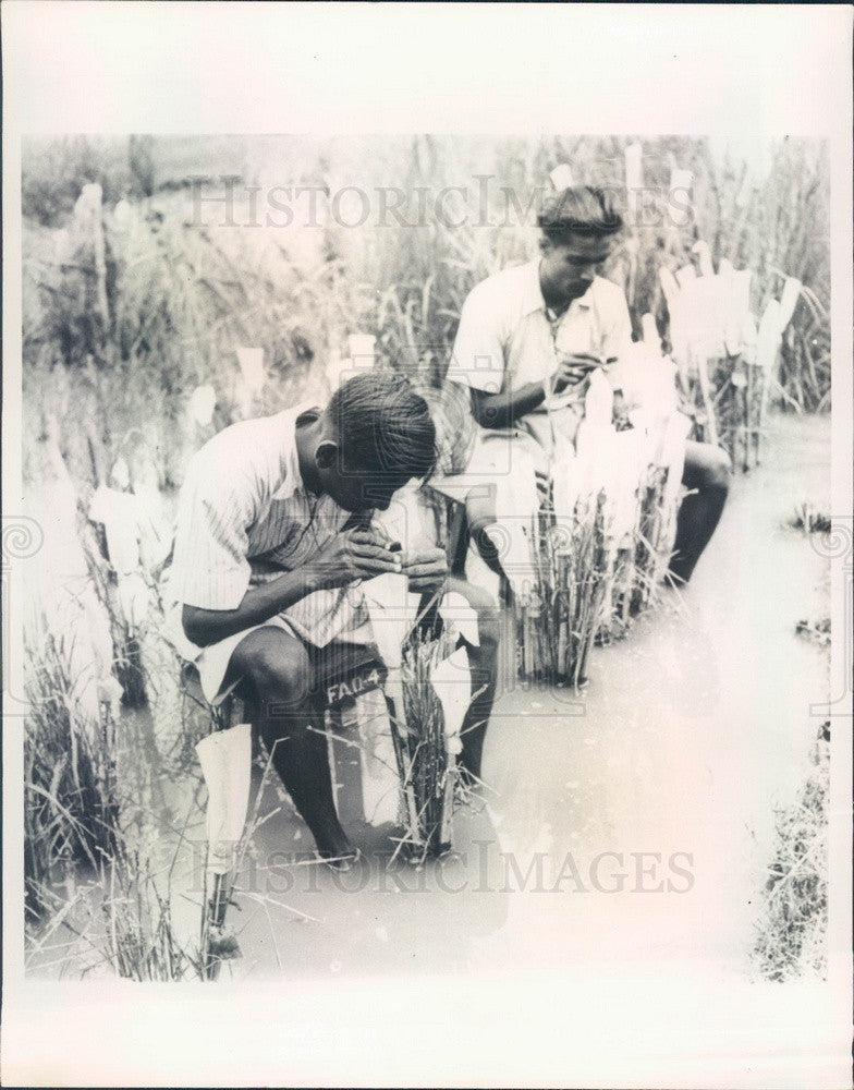 1965 Cuttack, Orissa, India Rice Hybrids Inspected, UN Food Press Photo - Historic Images