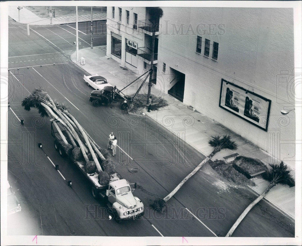 1964 St Petersburg, Florida Palm Trees Being Planted on 1st Ave S Press Photo - Historic Images