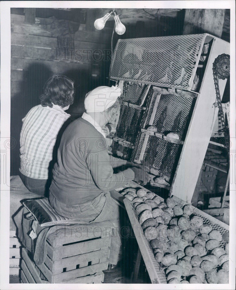 1955 McBride, MI Iva Braman & Lillian Sabin Cutting Seed Potatoes Press Photo - Historic Images