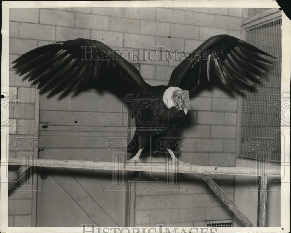 1931, Andean Condor is one of the largest attraction at St Louis Zoo - Historic Images