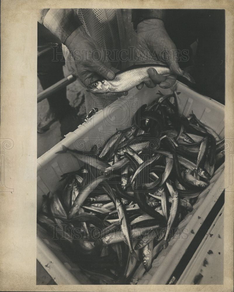 1979 Press Photo Smelt Paise Park Ontario fish - Historic Images