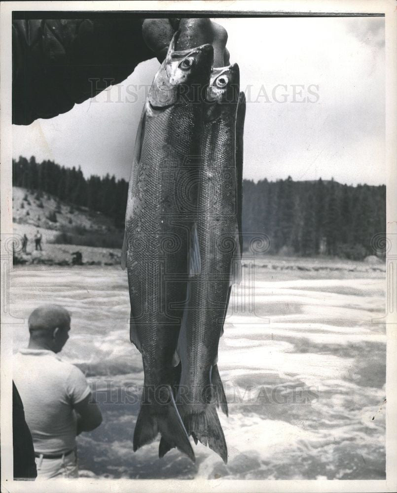 1965 Press Photo Salmon fish - Historic Images