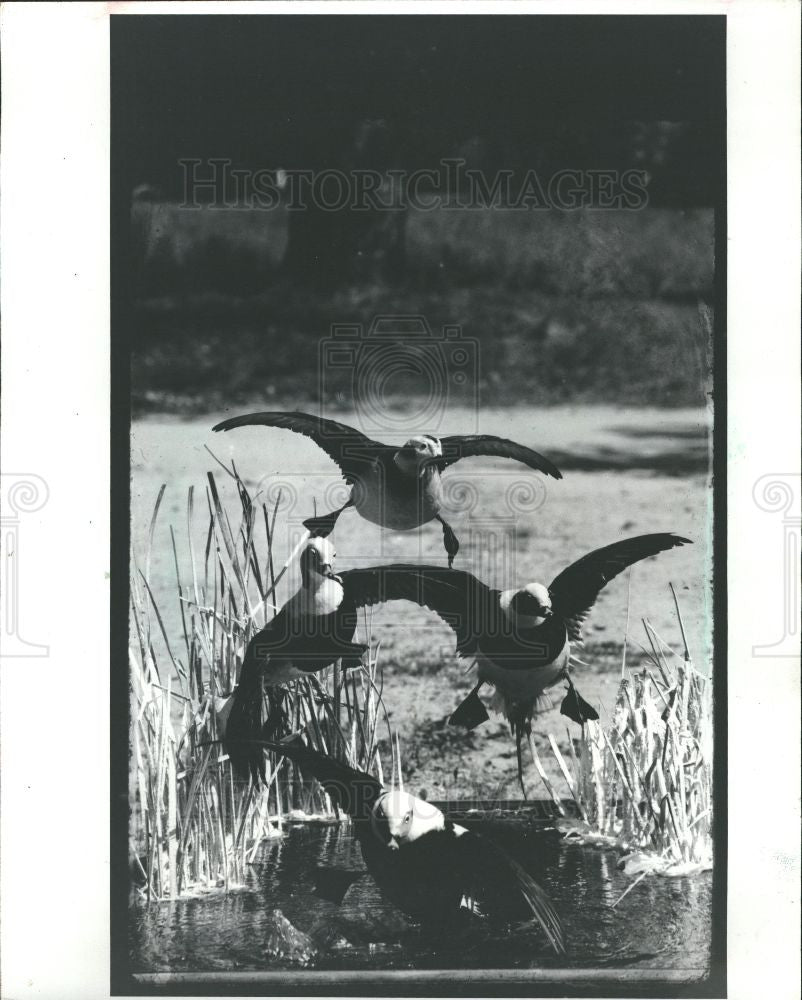1982 Press Photo Old squaw ducks - Historic Images