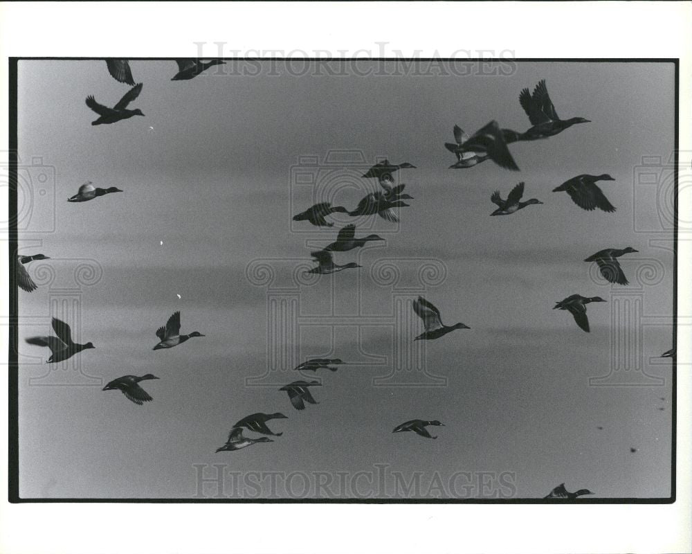 Press Photo geese birds - Historic Images