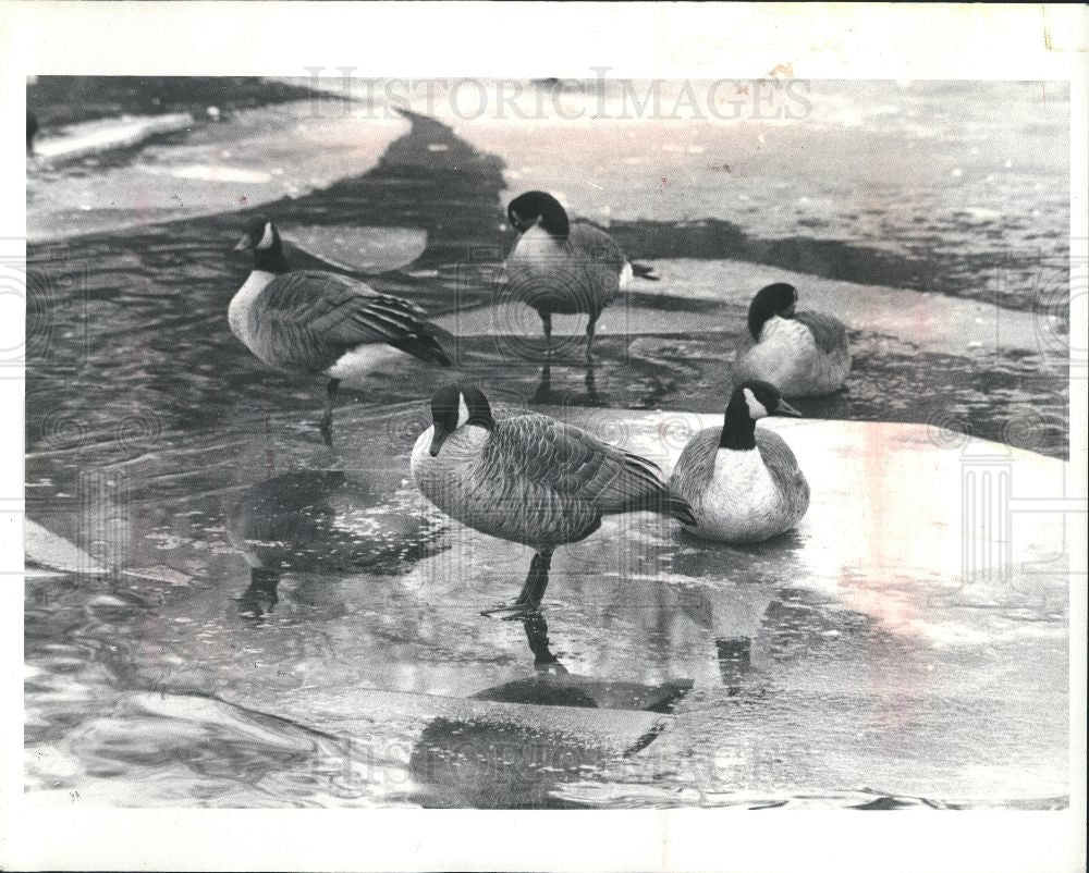 1983 Press Photo Canadian Duck Populations - Historic Images