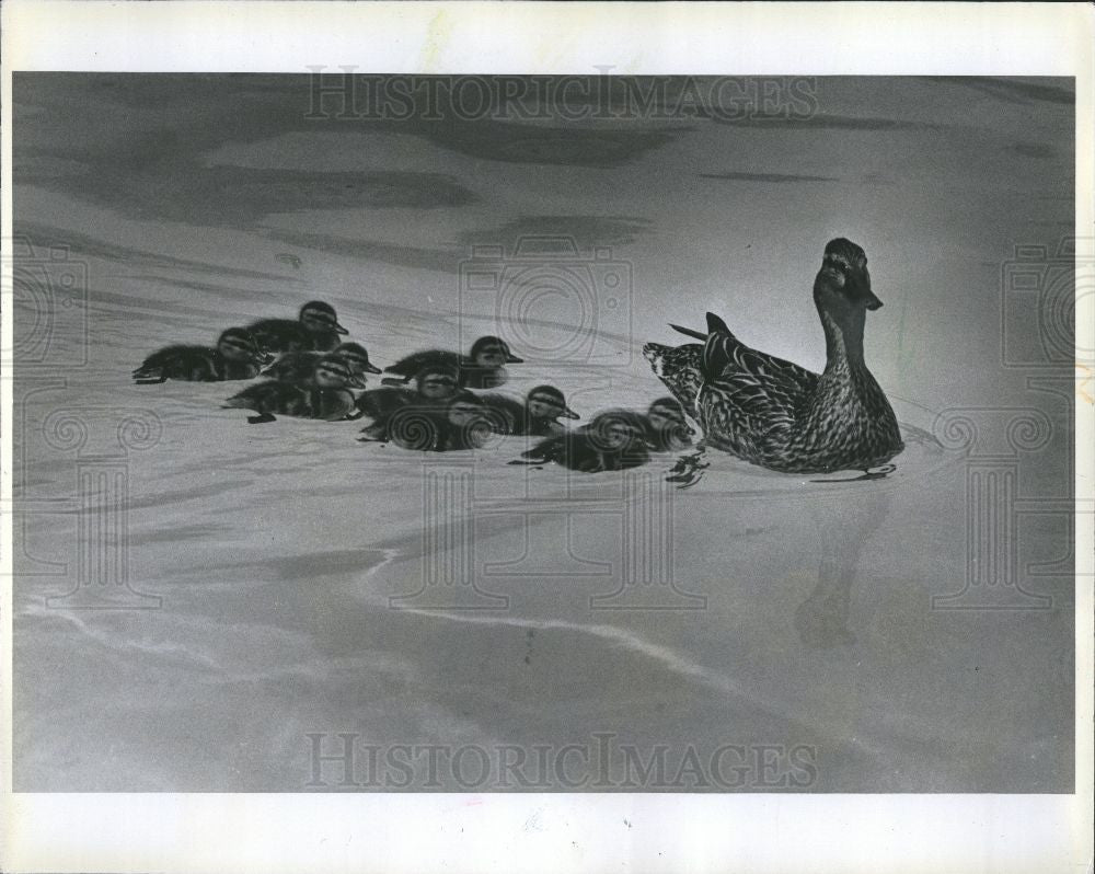1978 Press Photo duck ducklings Southfield - Historic Images