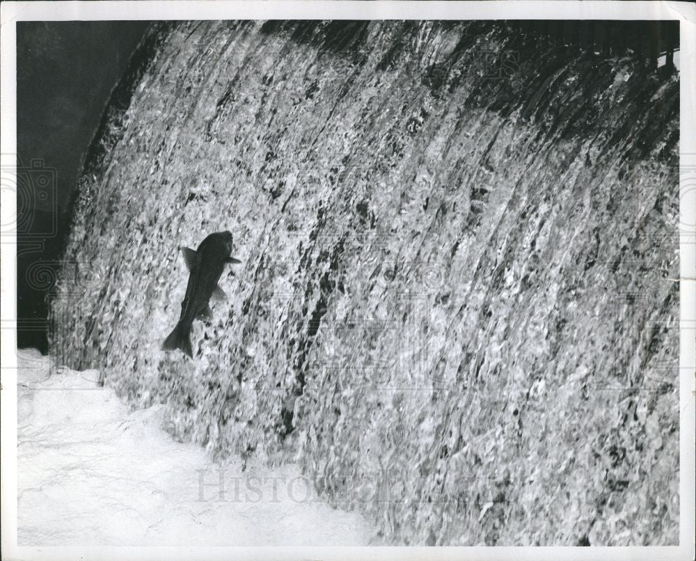 Press Photo Fish Salmon leaping - Historic Images