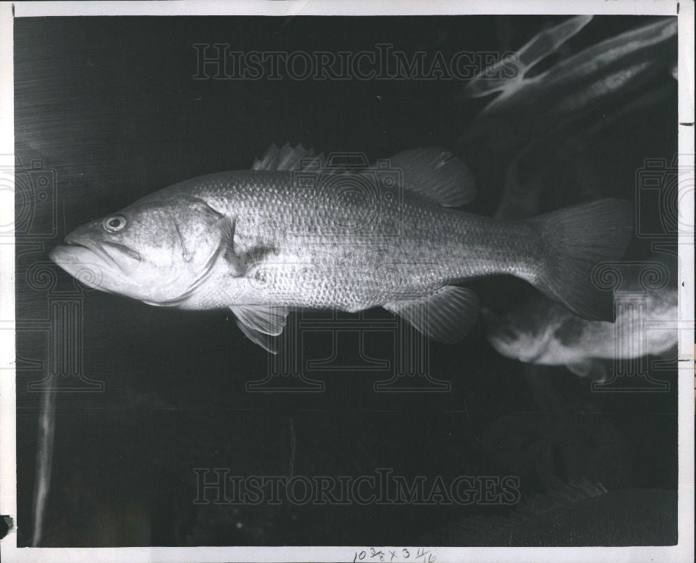 1960 Press Photo Fish - Bass - Historic Images