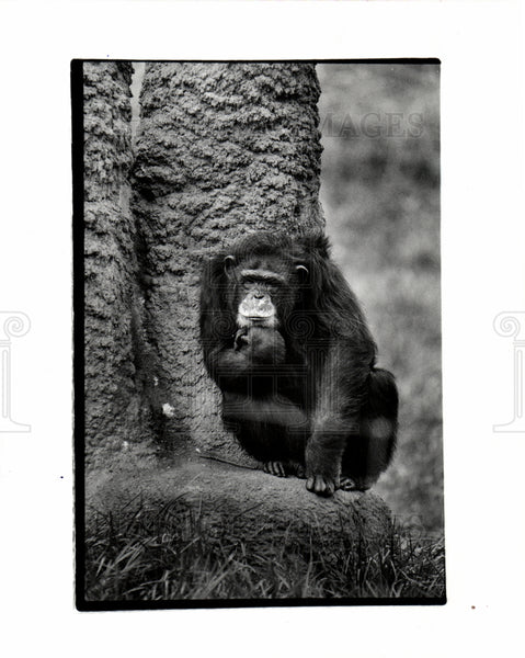 1931 Harambee Chimpanzee Detroit Zoo - Historic Images