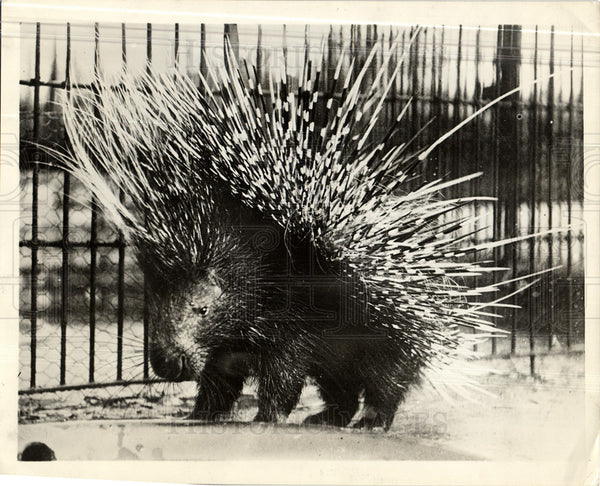 1930 Press Photo Porcupine Quill Pig - Historic Images
