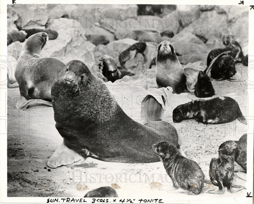 1958 Press Photo Seals Marine Animal Ocean Baby Seal - Historic Images