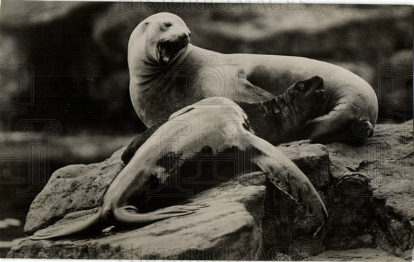 1930 Press Photo Sea Lions Ocean Animals Marine Life - Historic Images
