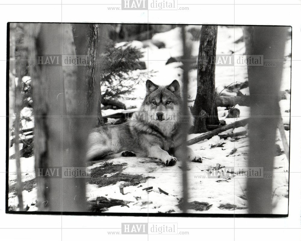 Press Photo Wolf - Historic Images