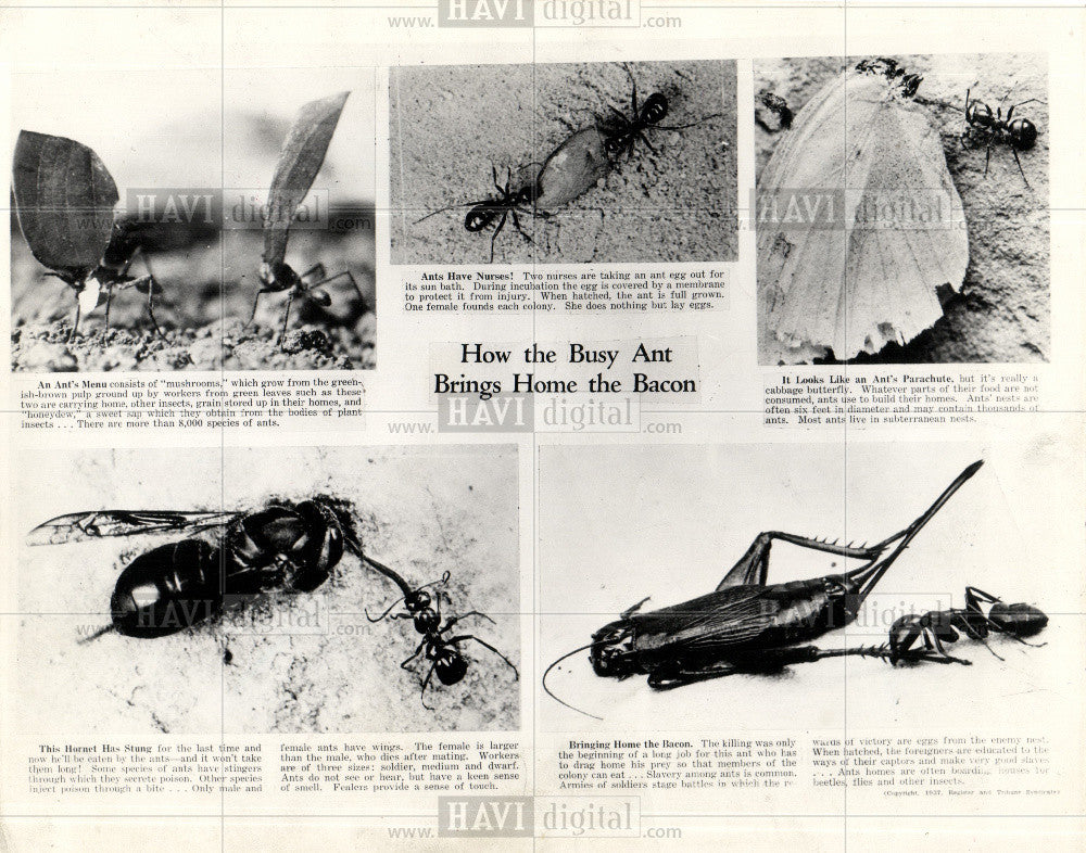1937 Press Photo Ant Social Insects - Historic Images
