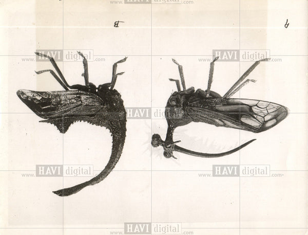 1931 Press Photo insects tree hoppers India Brazil - Historic Images