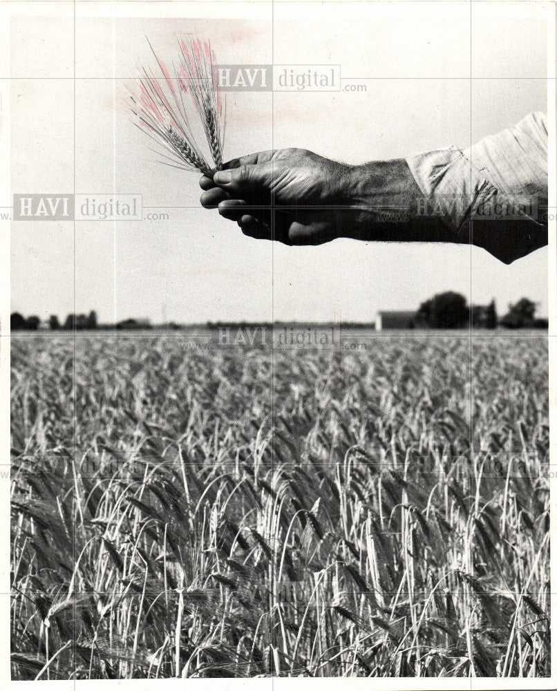 1962 Press Photo Barley cereal grain - Historic Images