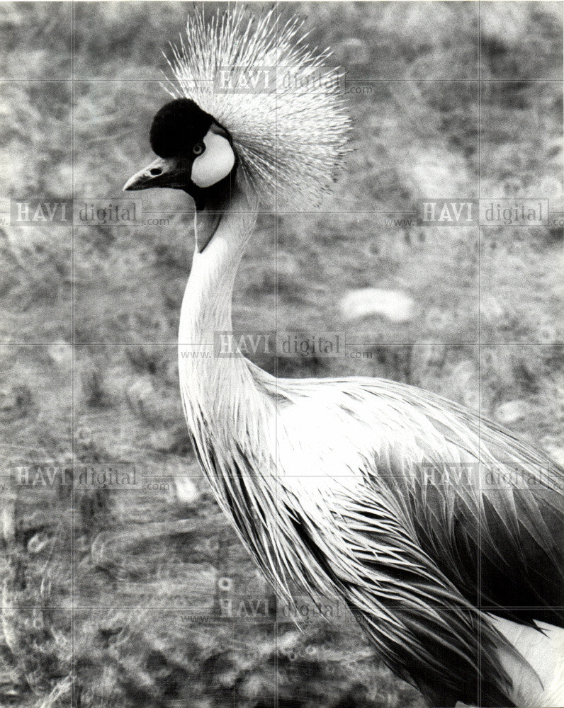1982 Press Photo Grey Crowned Crane - Historic Images
