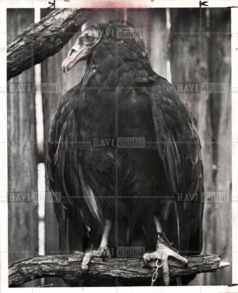 1970 Press Photo large birds - Historic Images