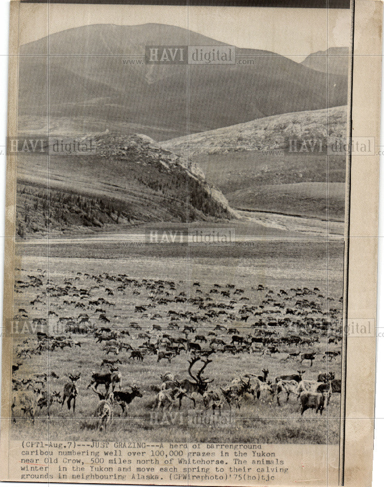 1975 Press Photo 100,000 caribou Yukon near Old Crow - Historic Images