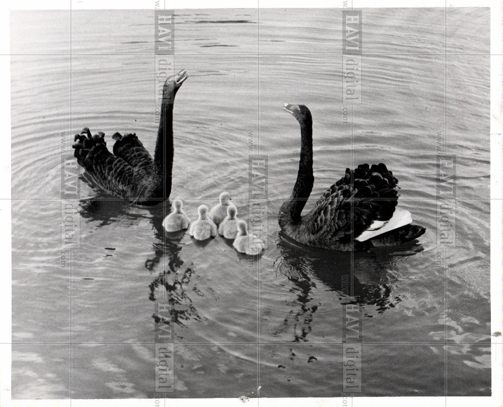1959 Press Photo swan - Historic Images