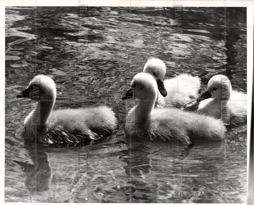 1953 Press Photo Swan Birds Baby Swan - Historic Images